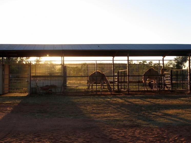 ferme de chameaux