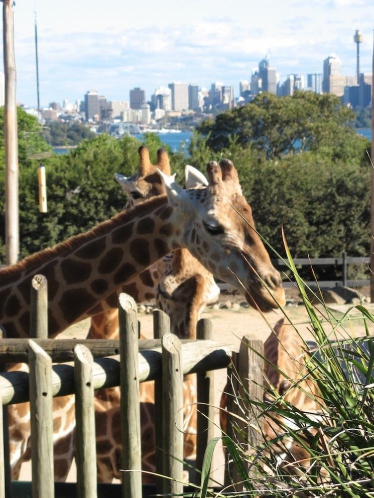 Girafe au Taronga Zoo
