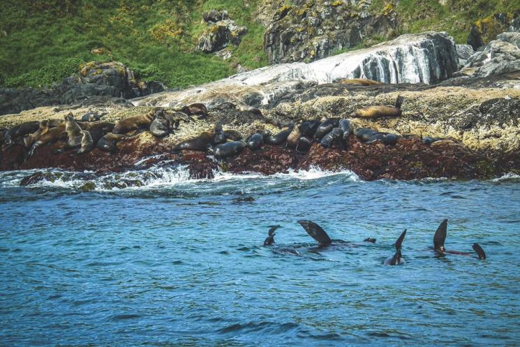 Phoques à Montague Island