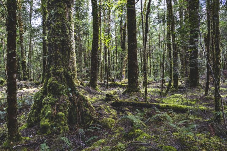 Forêt tropicale de Tasmanie